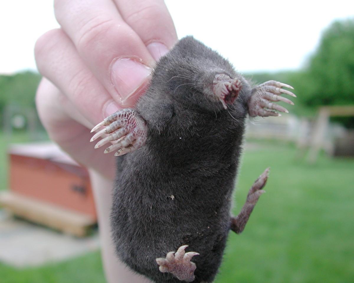 how to kill moles naturally