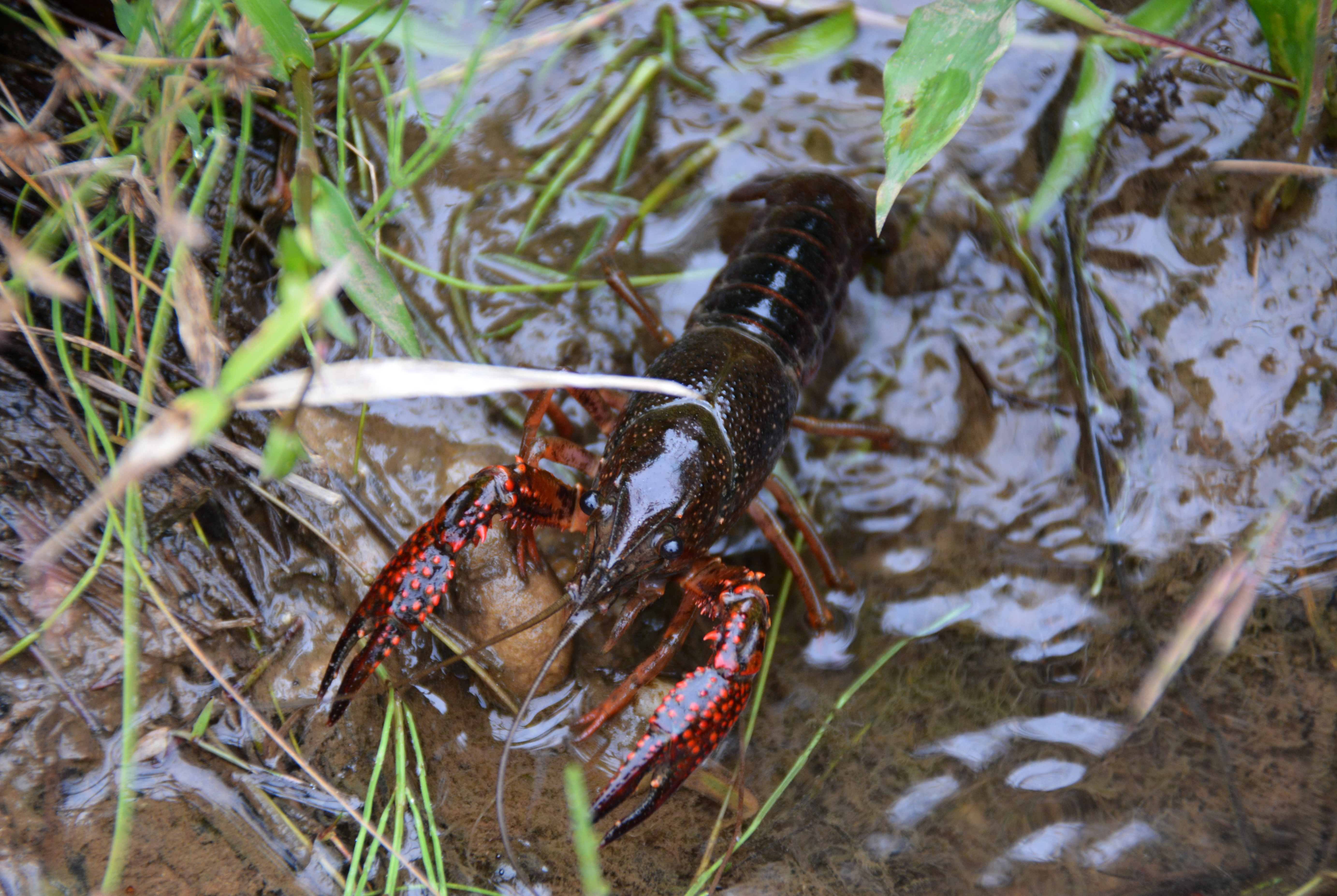 how to start a crawfish pond