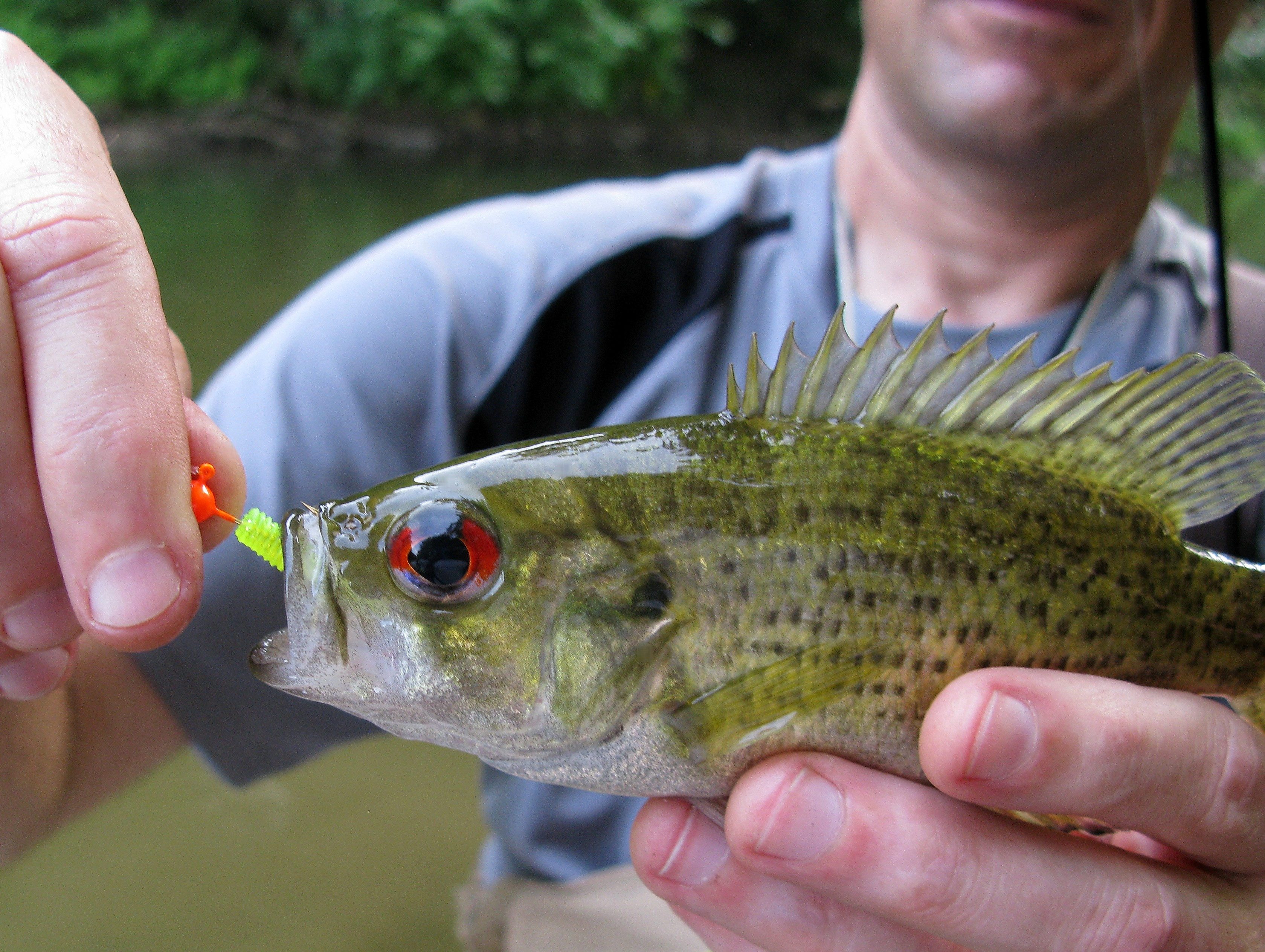 Fishing the patapsco in ellicott city the natural for Rock bass fish