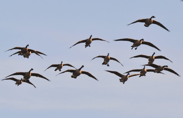 4-Incoming-Canada-geese