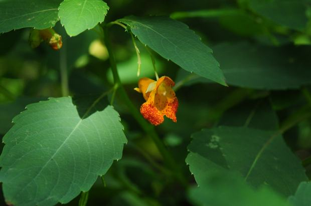 spotted-jewelweed
