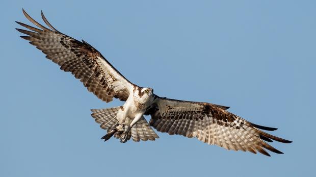 Osprey_AlfredForns%3AAudubonPotographyAward
