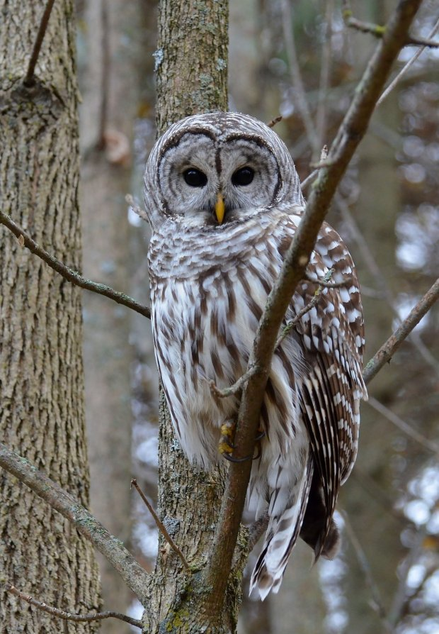 barred_owl_by_canadianry-d5jf145