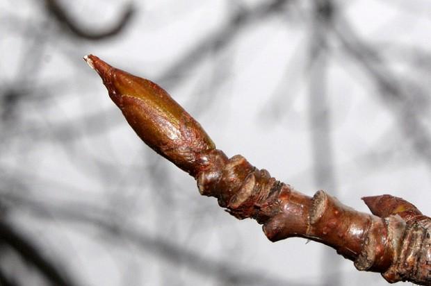 cottonwood-tree-buds-i8