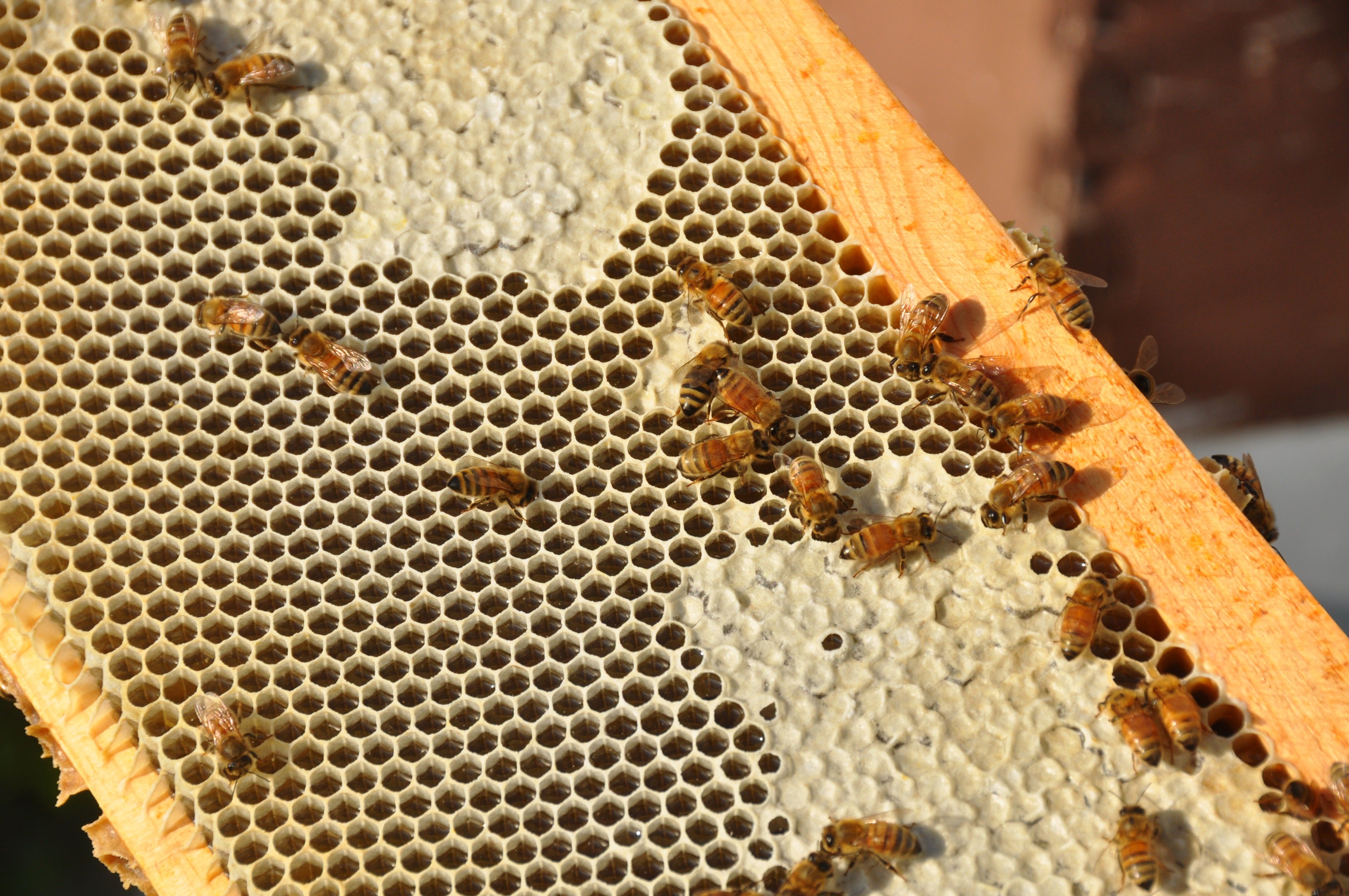 Busy Bees Capping Honey For Long Term Storage.
