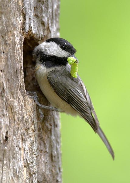 Chickadee at nest