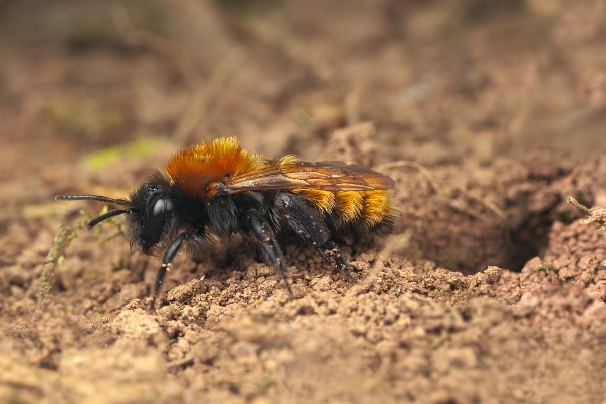 Tawny Mining Bee | The Natural History Log