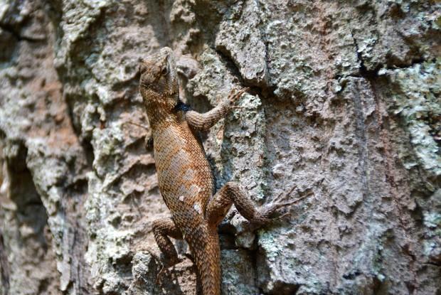 Fence Lizard II