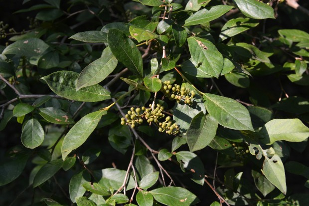 Maleberry