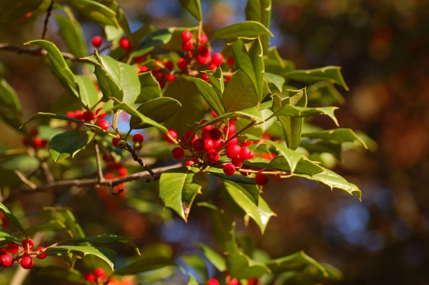 American_Holly_Ilex_opaca_Berries_3008px