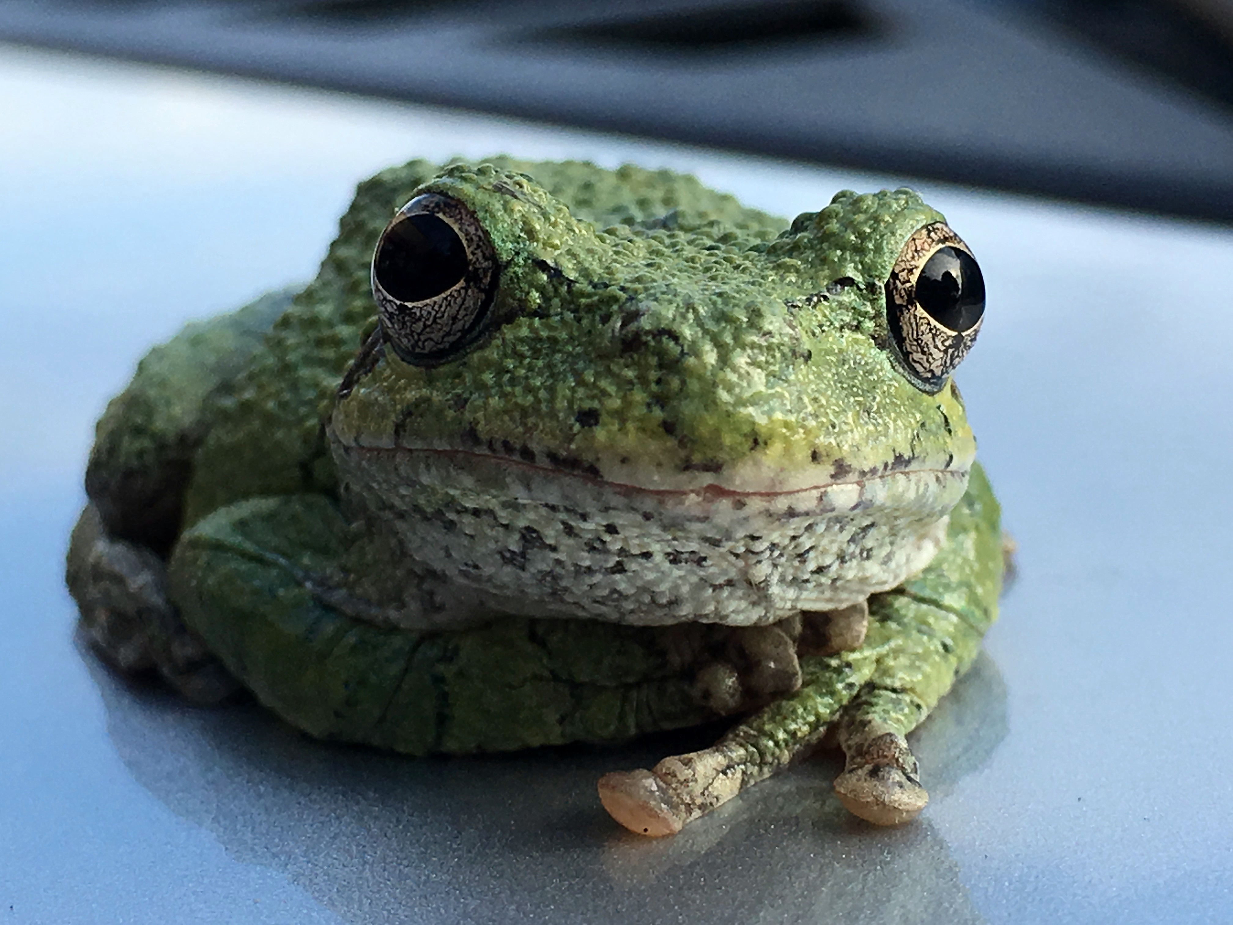 Clarksville to Crofton with a Gray Tree Frog | The Natural History Log