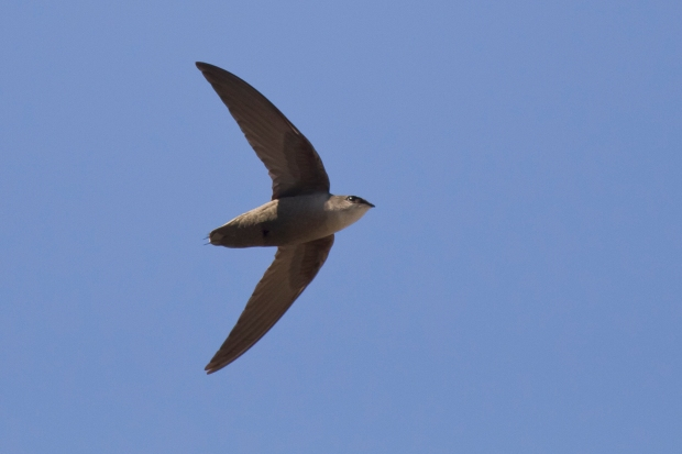 chimney-swift4